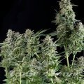 Pyramid Seeds - Northern Lights CBD