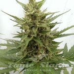 SEEDSMAN - Auto Critical Ogre