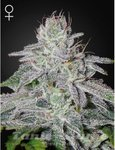 GREEN HOUSE SEEDS - Franco's Lemon Cheese