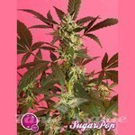 PHILOSOPHER SEEDS - SugarPop