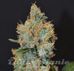 WORLD OF SEEDS - Tonic Ryder CDB