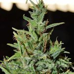 WORLD OF SEEDS - Neville Haze Auto