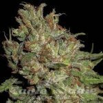 CBD Seeds - Domina