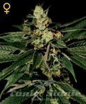 GREEN HOUSE SEEDS - Train Wreck