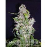 Biological Seeds - Auto Maxi