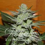 DELICIOUS SEEDS - Desconocida Kush