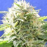 Original Sensible Seeds - Black Destroyer