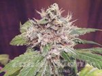 GREEN DEVIL GENETICS - Sweet Clements