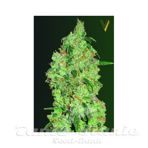 Victory Seeds - Great White Shark