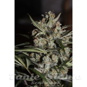 auto_whiteberry_paradise_seeds_2.jpg