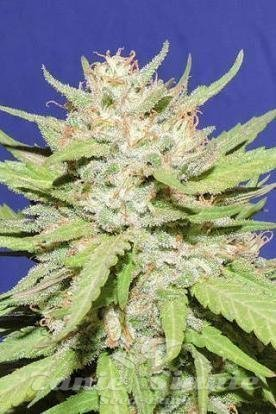 Original Sensible Seeds - Wedding Cake.jpg